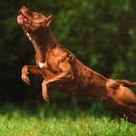 Are Pit bulls Good Hunting Dogs?