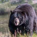 Black Bear Hunting - Tips For Success