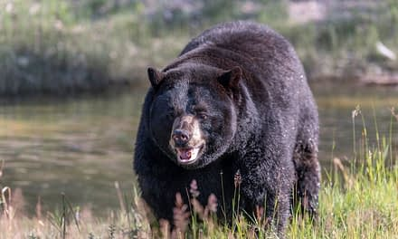 Black Bear Hunting – Tips For Success