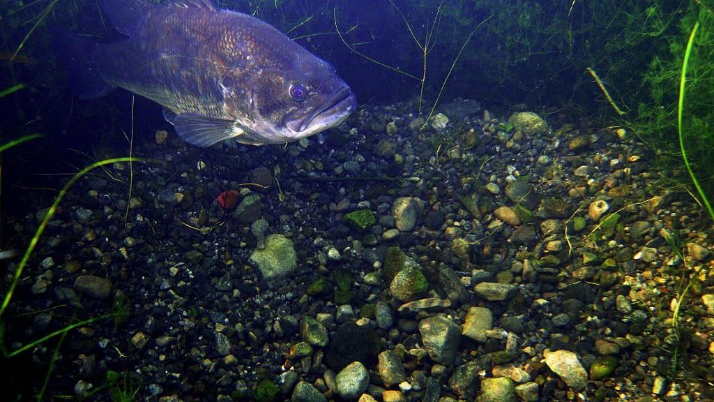 largemouth bass spawning