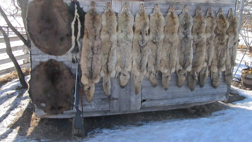 Coyote Hunting Gun