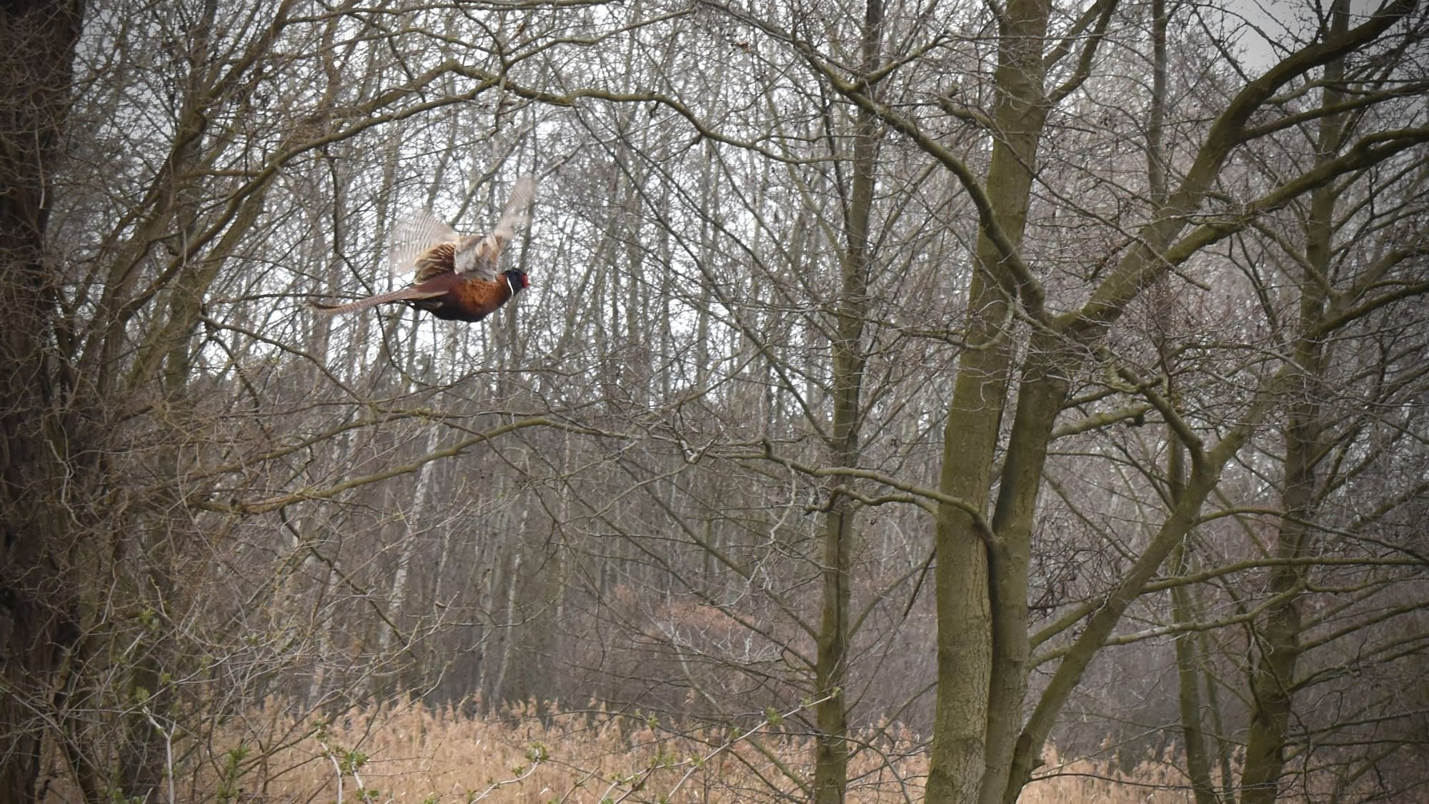 5 Areas You Can Pheasant Hunting Without a Dog