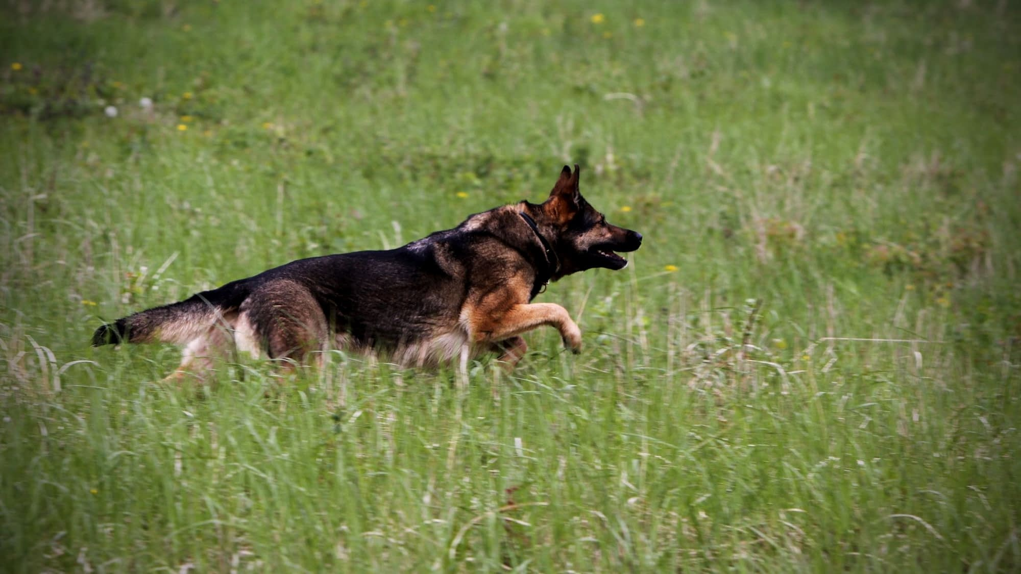 Are German Shepherds Good Hunting Dogs?