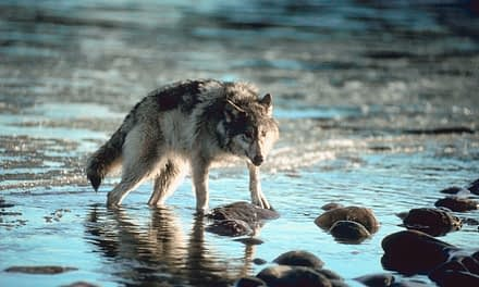 How Big Is A Wolf