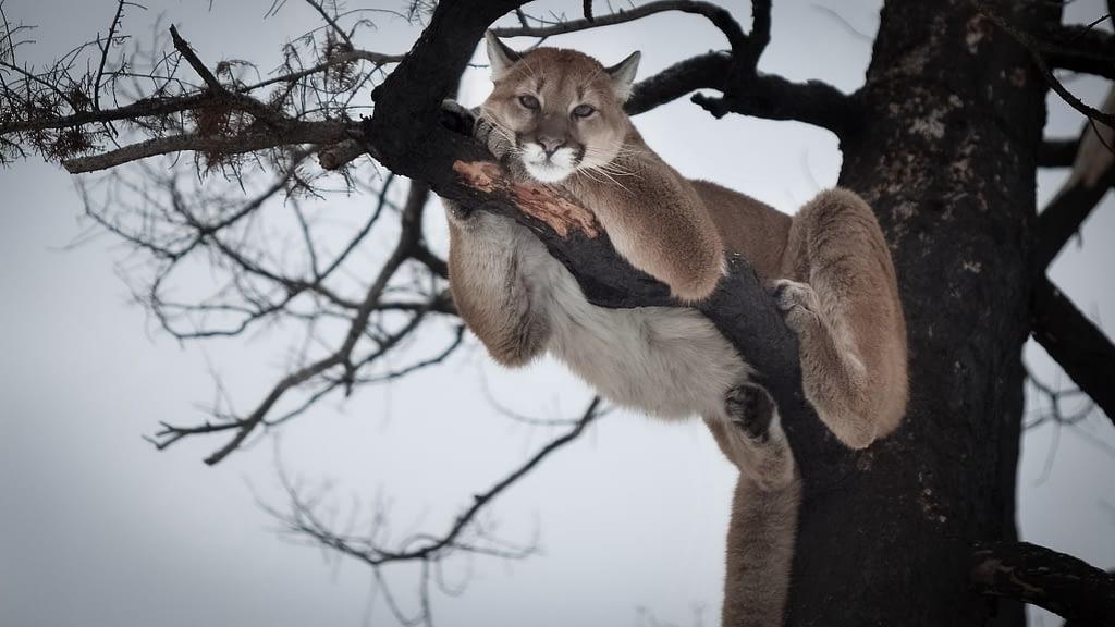 Mountain Lion Hunting
