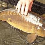 What Are Mirror Carp and How to Catch Them