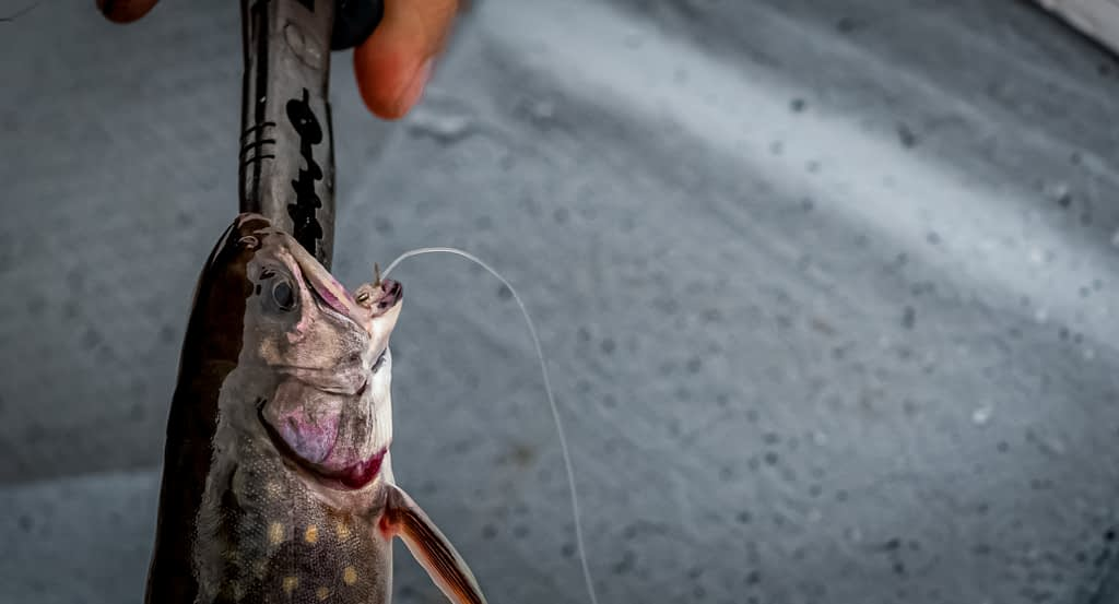 gut hooked fish