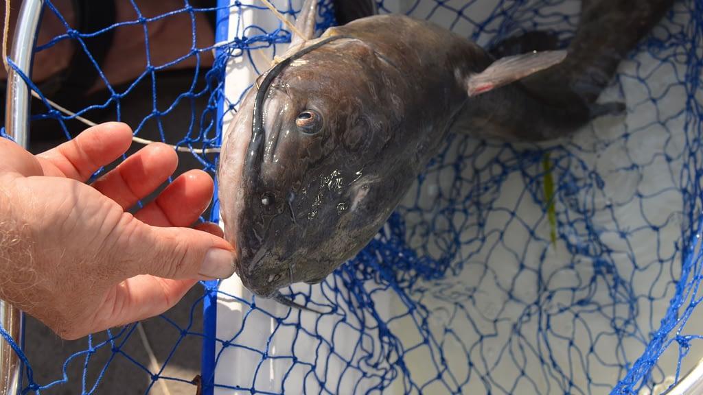Do catfish like garlic?