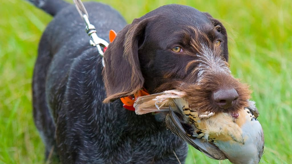 How Old is Too Old to Train a Hunting Dog