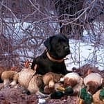 Duck Hunting With Dogs