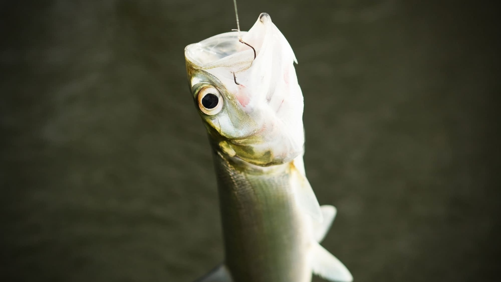 A Complete Guide to Ladyfish