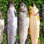 The 9 Best Tasting Trout According to Anglers