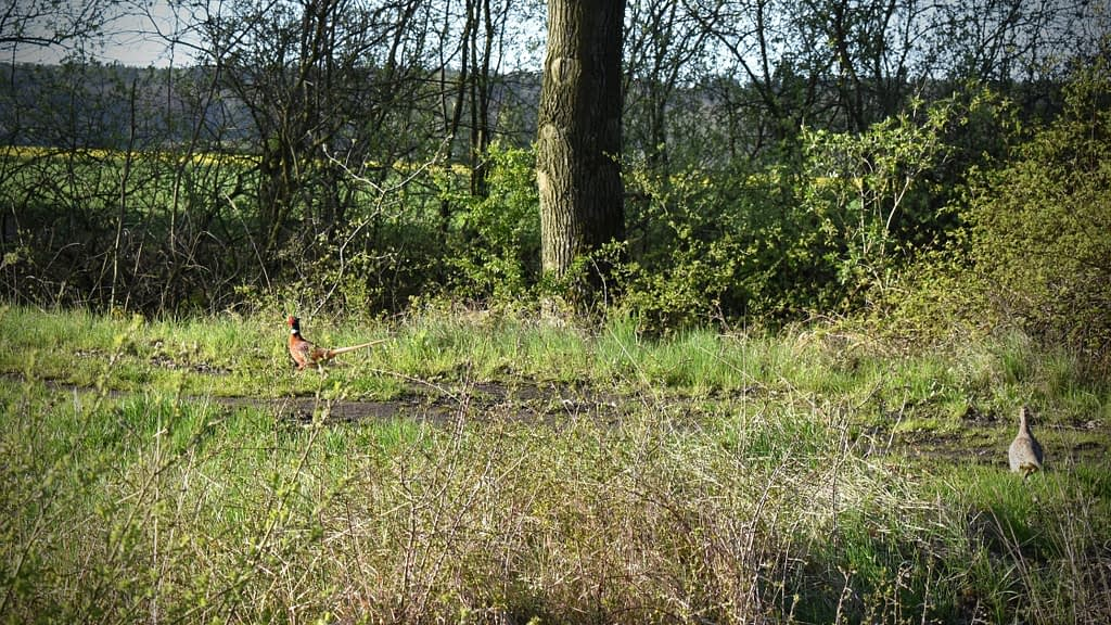 5 Areas You Can Go Pheasant Hunting Without a Dog