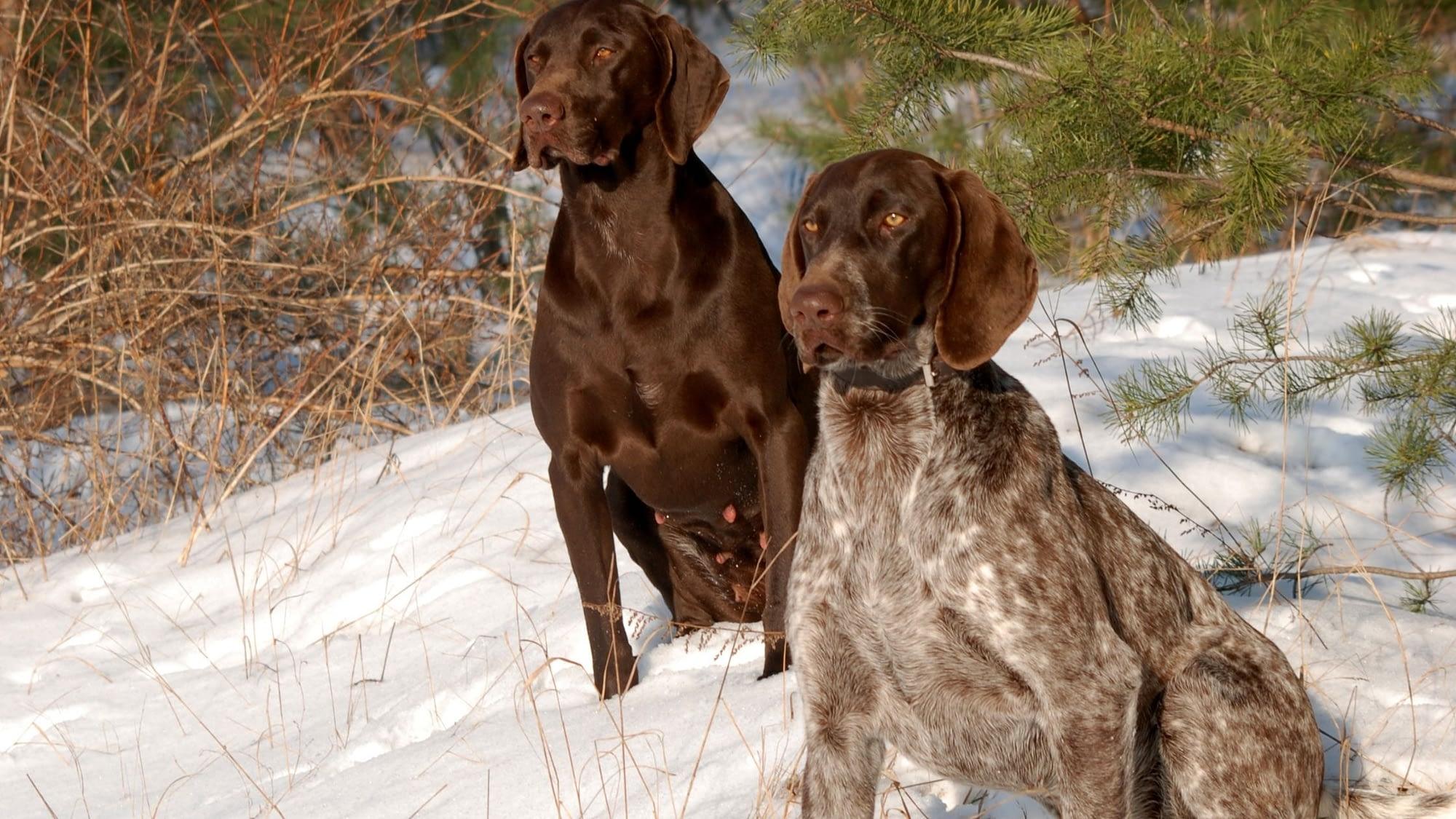 Male vs Female Dog For Hunting