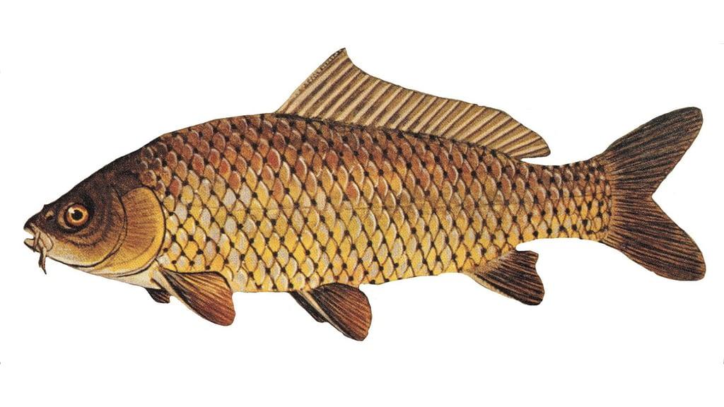 How Common Are Carp