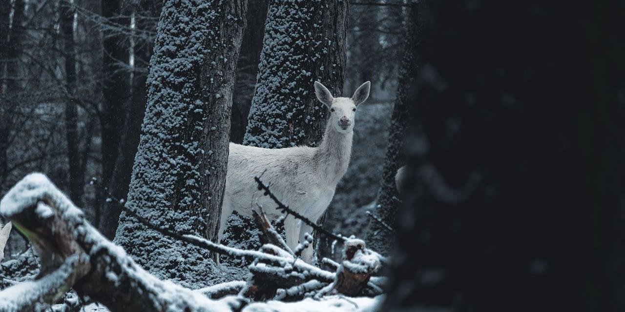 Albino, Piebald And Melanistic Deer Explained