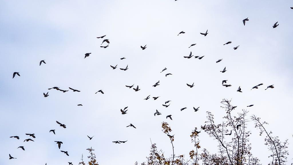 Dove Hunting Pass Shooting
