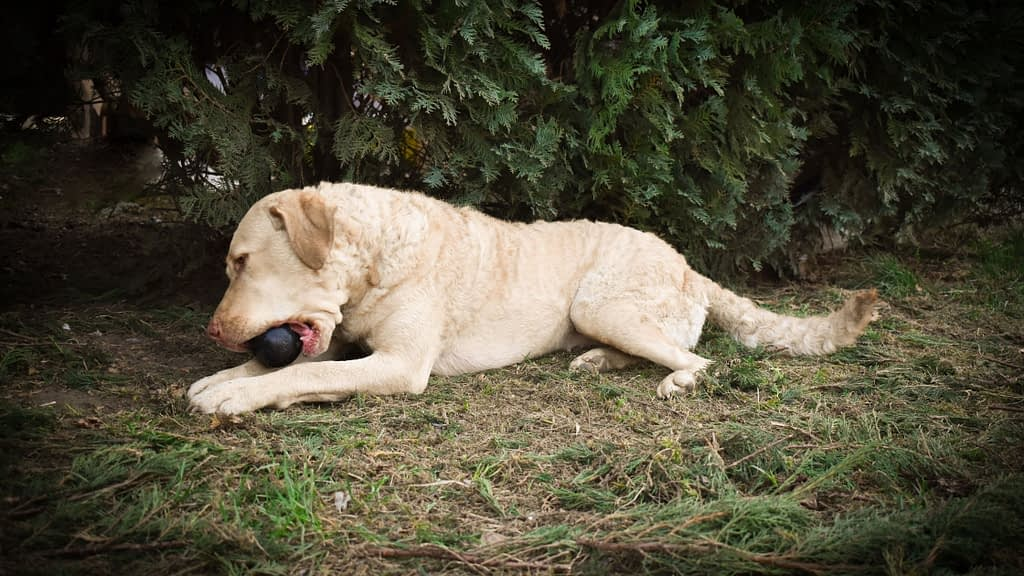 Kong Toy for Hunting Dogs