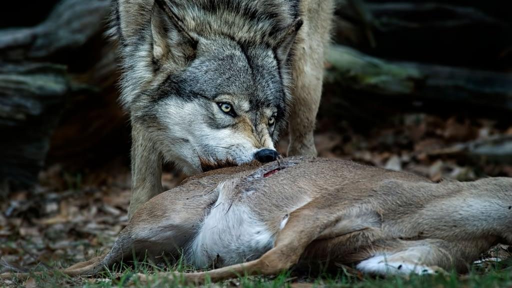 deer predator