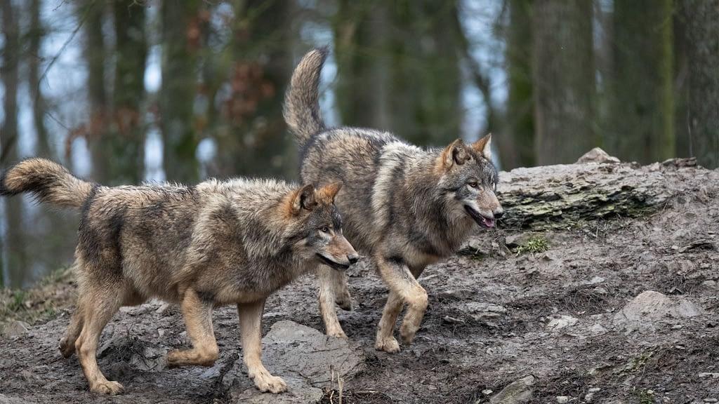 easten wolf
