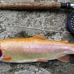 Palomino Trout - Hybrid Species Explained