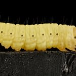 How to Use Wax Worms for Fishing