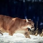 Mountain Lion Hunting With Dogs