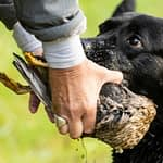 How Old is Too Old to Train a Hunting Dog?