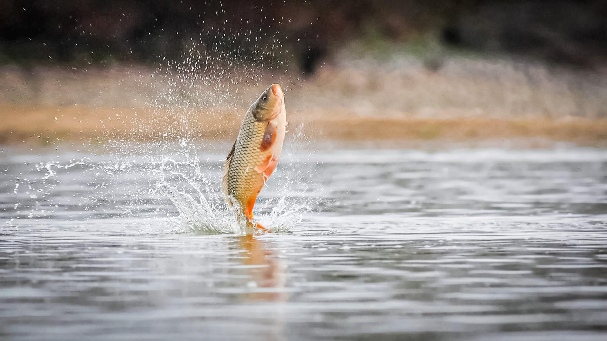 Why do carp jump