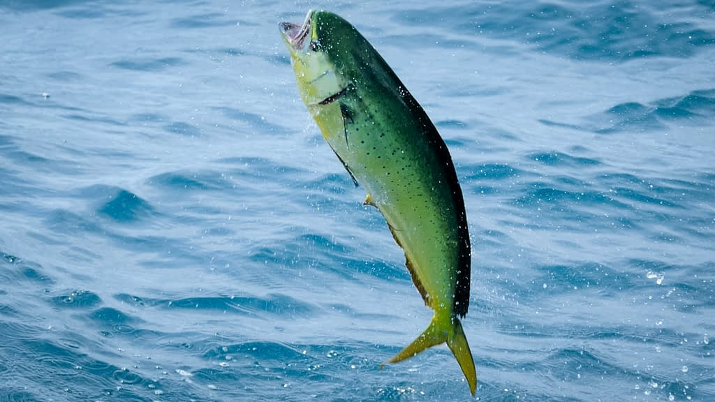 The 8 prettiest fish caught by anglers