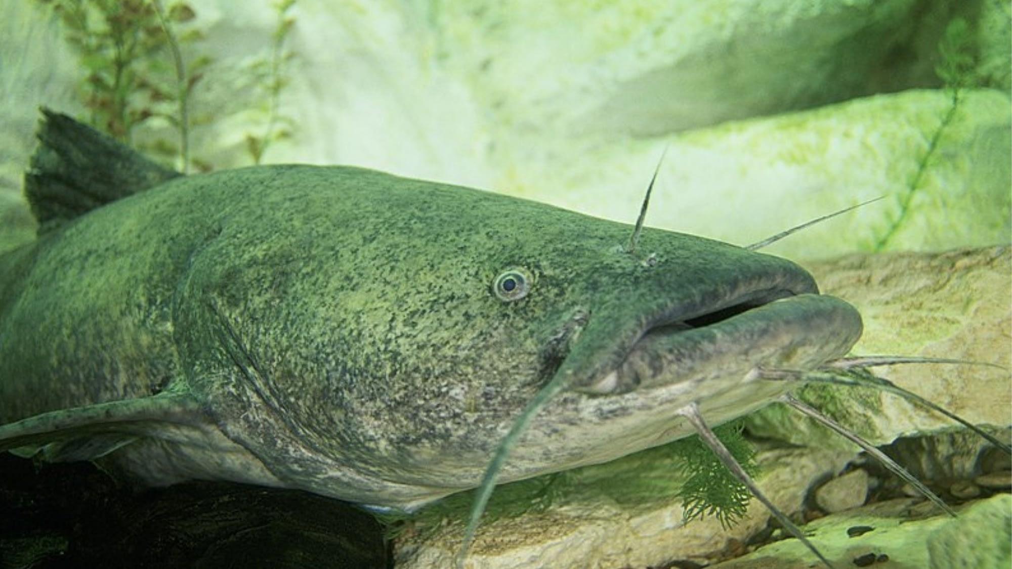 How to catch flathead catfish