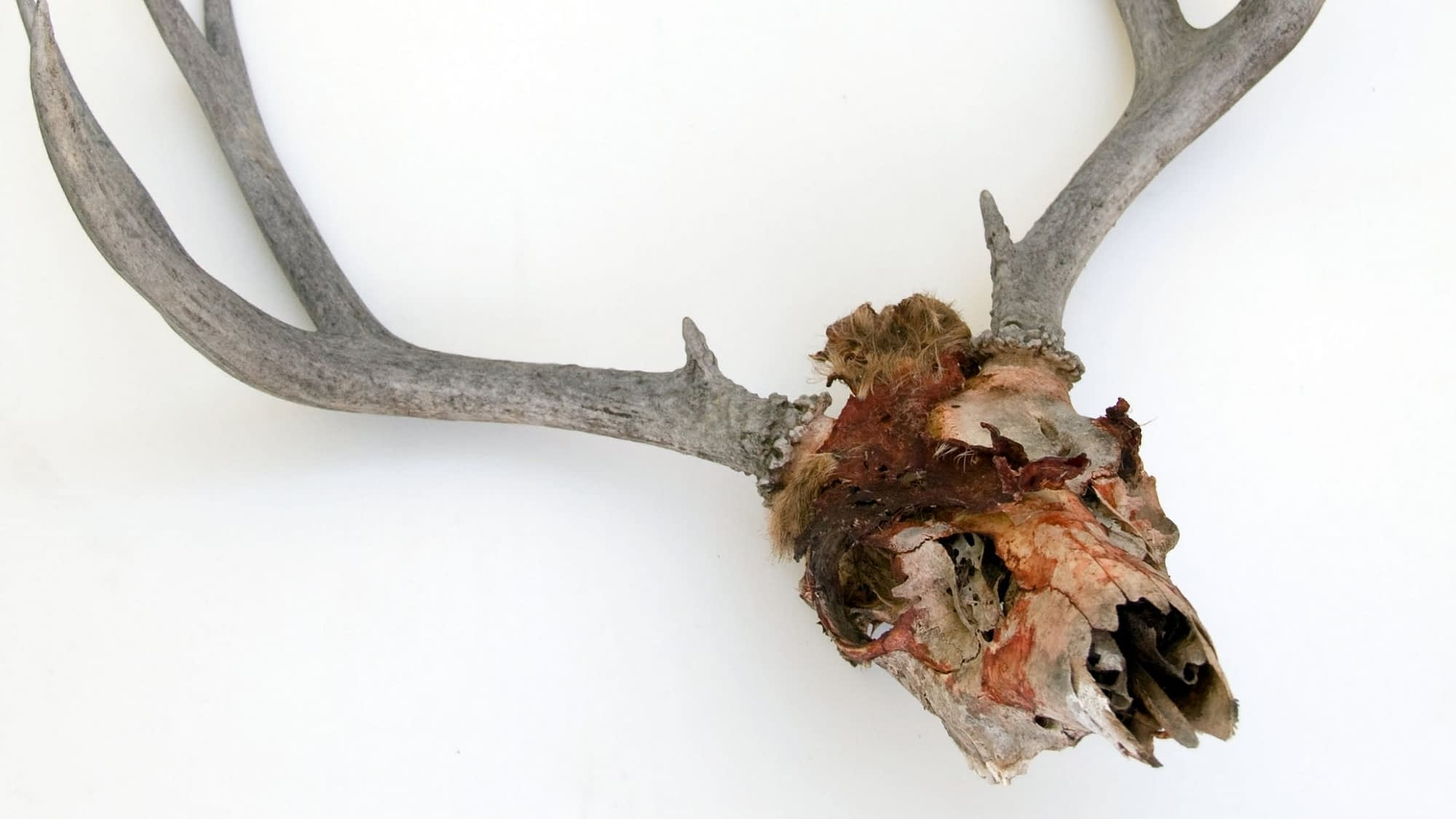 How to clean a deer skull found in the woods